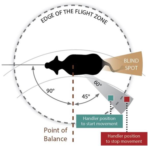 cattle flight zone